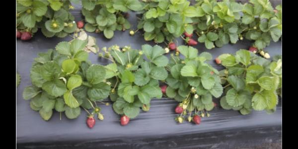 Strawberry pre-plant meeting