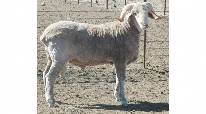 Premier ram sale at Sheep & Goat Expo