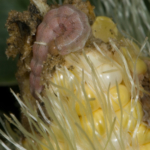 Figure 1. Corn earworm damage is restricted to the tips of corn ears. (Photo: Ric Bessin, UK)