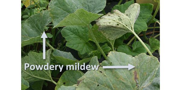 Figure 1: Symptoms of cucurbit powdery mildew begin as white, powdery spots on the upper or lower leaf surface. (Photo: Emily Pfeufer, UK)