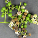Figure 3: Downy mildew infected fruit. (Photo: Bruce Watt, University of Maine, Bugwood.org)