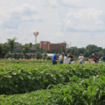This year at the Field School, participants will have two opportunities to learn, re-learn or fine-tune their skills in linking visual symptomology to the common herbicide modes of action commonly used in corn and soybean and gain in-depth knowledge of growth regulator herbicide movement and symptomatology in soybean. (Courtesy of University of Minnesota Extension)