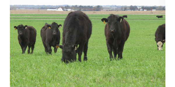 Come learn about growing and grazing cover crops on August 9, 2017. (Photo courtesy of Mary Drewnoski)