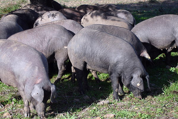 Venture formed to convert pig poop to power