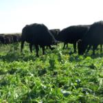 Cattle graze on a cover crop mixture. (NDSU photo)