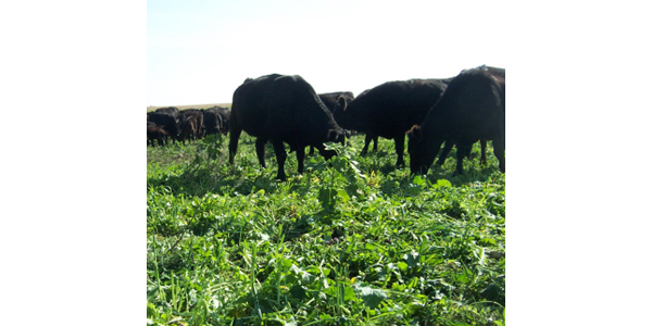Annual cover crops a forage source