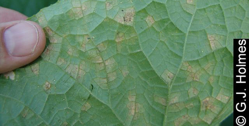 Cucurbit downy mildew headed for NY