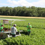 Trembling Prairie Farms Inc. is in full swing harvesting new crop Wisconsin Celery. (Courtesy of Alsum Farms & Produce)