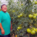 Tomatoes are among the many vegetables grown in the high tunnels owned by Fue Yang and his family. (Credit: Photo courtesy of Farmers Market Coalition)