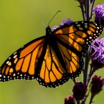 A monarch butterfly lands on a rough blazing star, a native Iowa plant. (Photo: Alec Euken, Iowa State University)