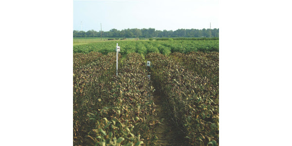 Soybean rust on plants in Florida. (Courtesy of University of Illinois College of Agricultural, Consumer and Environmental Sciences)