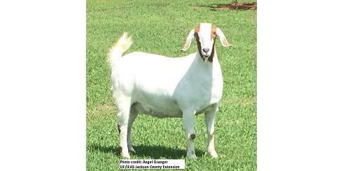 Basic nutrition & health of goats