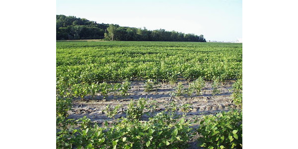 SCN resistant soybeans becoming less effective
