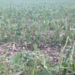 Figure 1. A soybean field west of White damaged by hail on July, 11, 2017. (Courtesy of iGrow.org)