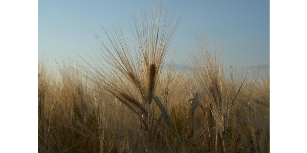 The course is intended to provide an intensive overview of the many factors impacting barley and malt quality from the field to the brewhouse. (Courtesy of Northern Crops Institute)