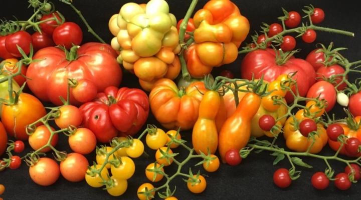 Gene makes large, plump tomatoes