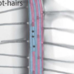 This image shows how the root hairs expand the surface area of a main root in plants. (Courtesy of University of Kentucky)