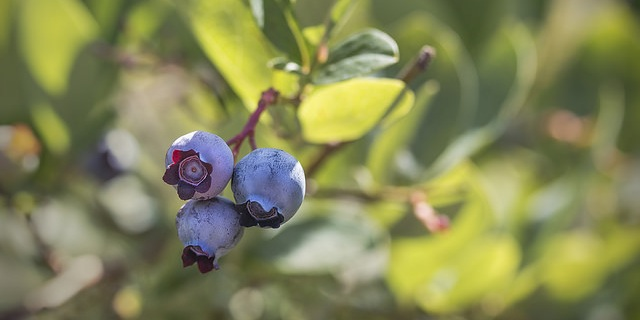Maine blueberry crop falls with disease