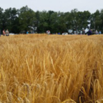 More than 70 people attended the Malting Barley Field Day at KBS, June 2017. (Courtesy of MSU Extension)
