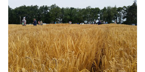 Winter malting barley performs well