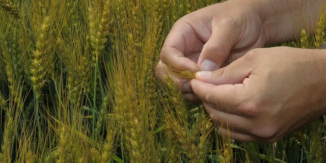 Wheat Production Meeting, Aug. 31