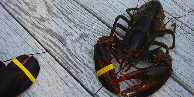 No new rules for lobstering