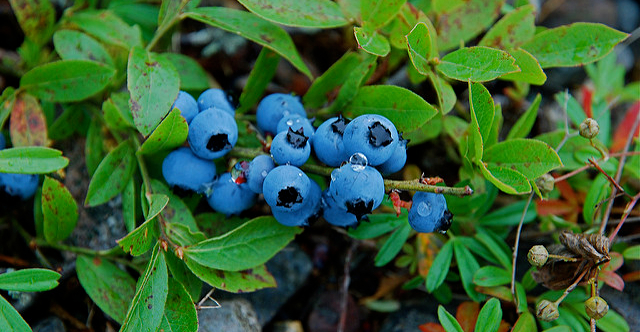 Mainers celebrate state's blueberry industry