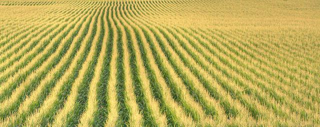 Human Corn 2017