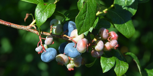 Highland Blueberry Farm hosts tour