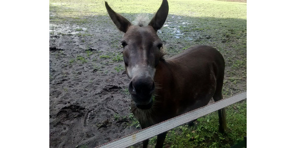 Equine infectious anemia found in mule