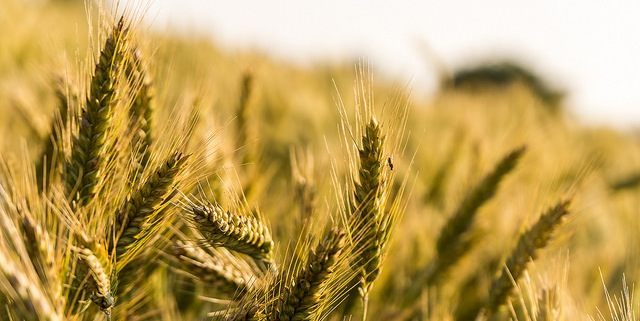Hope for more abundant wheat crops