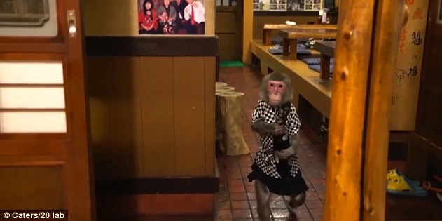 Macaque waiters serve bar's patrons
