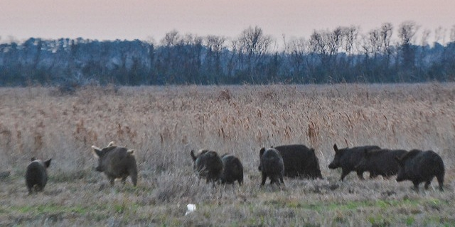 Feral hog program wildly popular