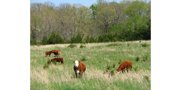cattle in missouri pasture