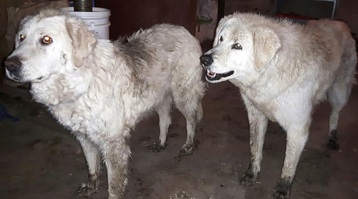 Dogs stick with sheep through wildfire