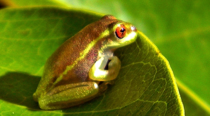 Infections reduce frogs' tolerance of heat