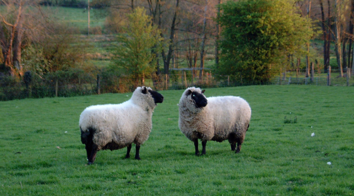 Sheep industry adds $5.8B to U.S. economy