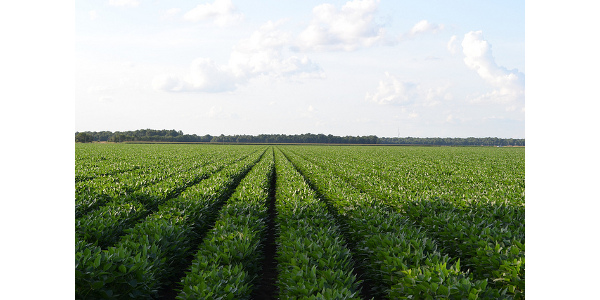 Soybean yield contest
