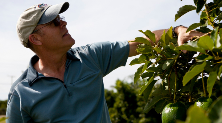 Growers try to control avocado pathogen