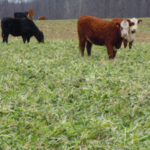 Photo 1: Forage cover crops have the potential to reduce feed costs. (Photo: Eric Mousel)