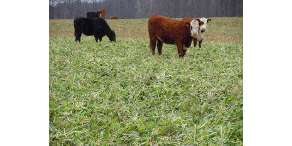 Use small grain stubble fields to boost forage supply