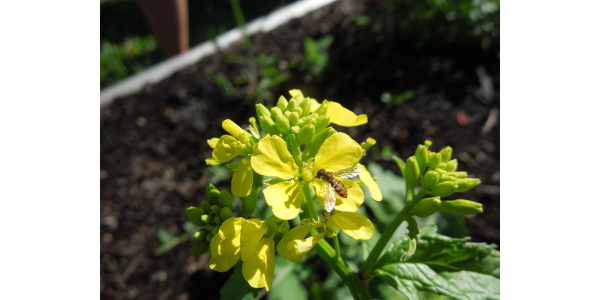 Adult hoverfly. (Courtesy of University of Illinois Extension)