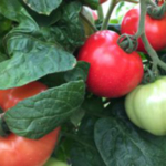 The Pest Management Strategic Plan (PMSP) for Tomato in the Southeast outlines priorities for research, regulation, and outreach to guide activities such as EPA registration of pesticides, government and other agencies allocation of funds for research, scientists in their research endeavors, and other activities related to solving pest management issues. (Courtesy of NC State University)