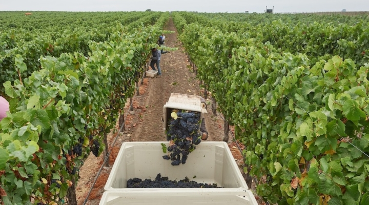 Mumm Napa kicks off 2017 harvest