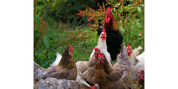 Clemson Extension will have a backyard poultry workshop Aug. 14 in Aiken. (Courtesy of Clemson Extension)