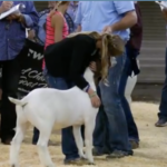 The CME Group, for the third year in a row at the Illinois State Fair, is providing the kids showing the Grand Champion animals $5000 scholarships for their education funds. (Screenshot from video)