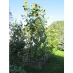 Sunflowers in Beth Doran's Garden