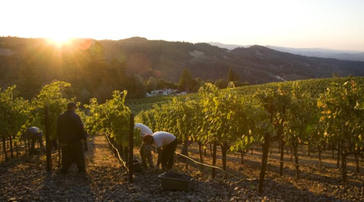 Napa Valley grape harvest underway
