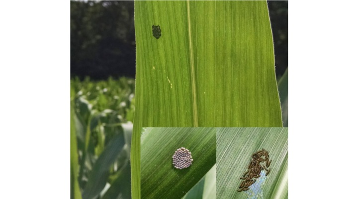Emerging corn pest in Northern NY