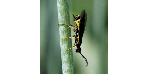 Wheat stem sawfly (WSS) are being found at significant levels in Polk County. (Courtesy of University of Minnesota Extension)